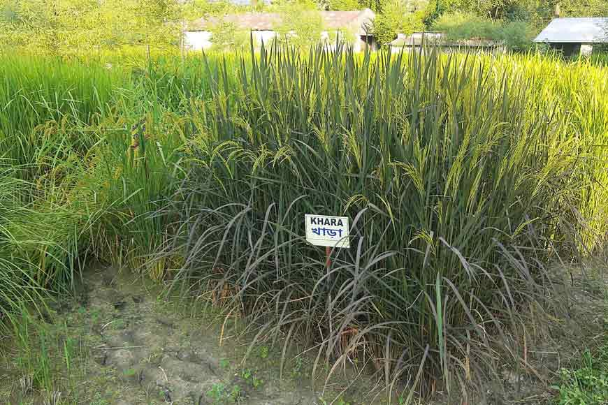 Bengal's Folk Rice: Conserving a Neglected Treasure