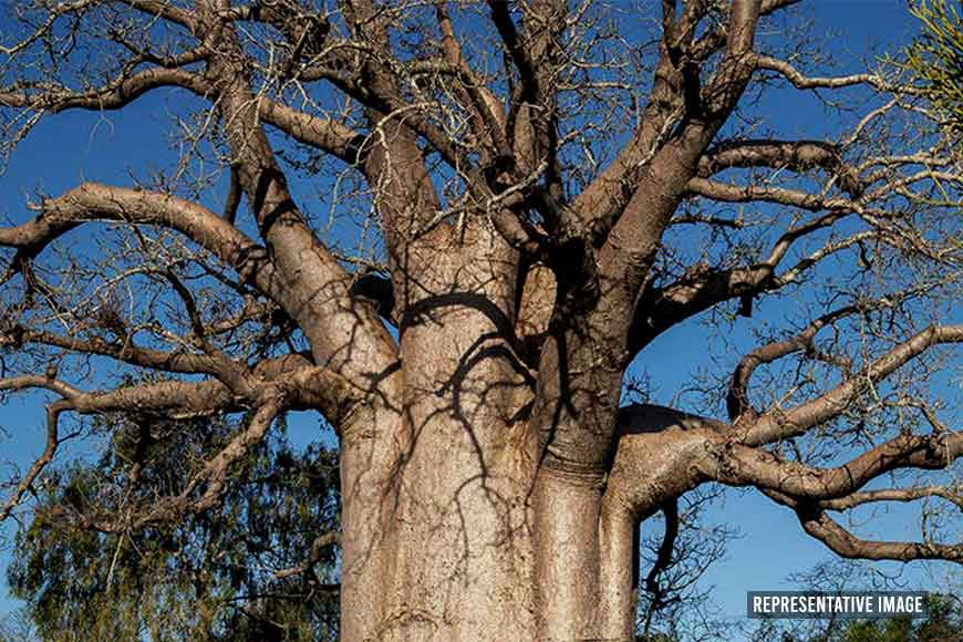 Giant century-old Baobab tree replanted successfully at Botanical Gardens