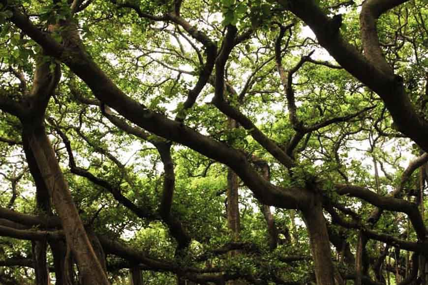 Saving Botanical Garden's Great Banyan Tree from thunderstorms
