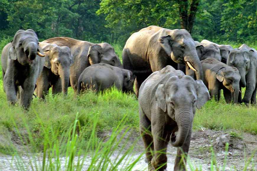 Human-Pachyderm conflict is well tackled in Bengal leading to increase in elephant herds
