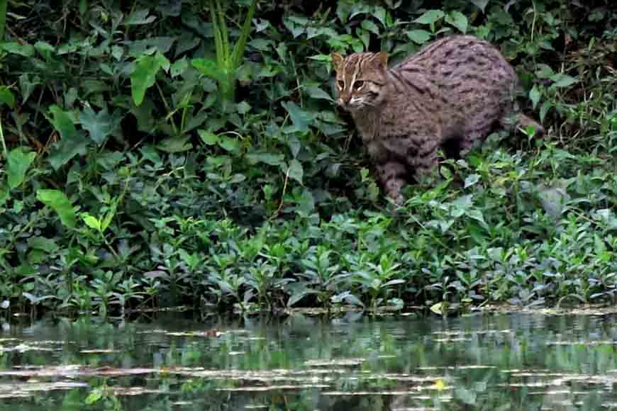 Fishing Cat- Bengal's state animal