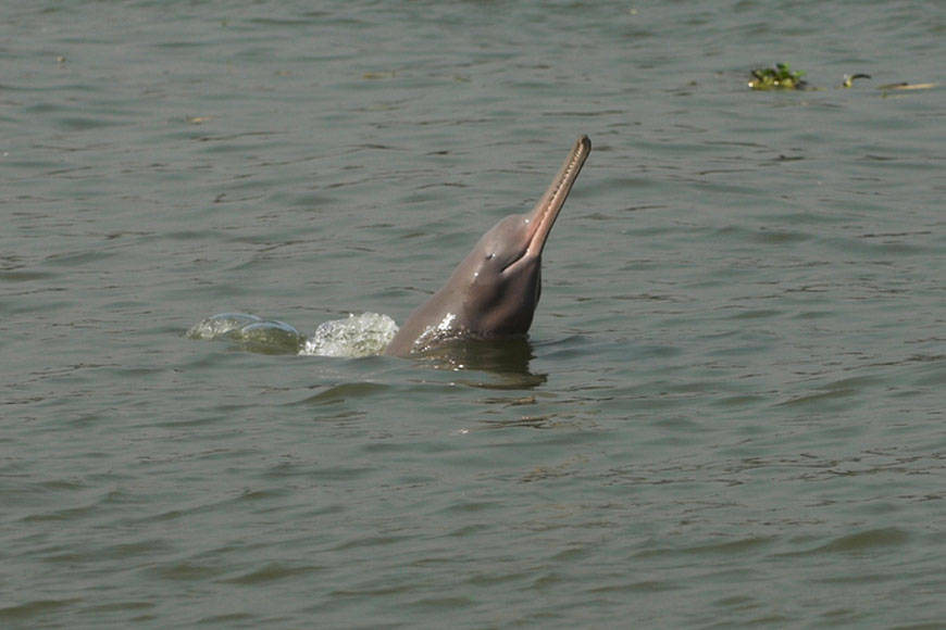 After 30 years endangered Gangetic Dolphins return to Hooghly amidst Lockdown!