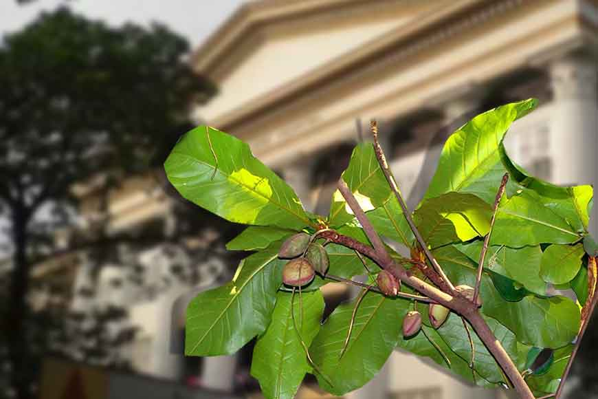 How KMC saved a 100-year-old tree at Medical College