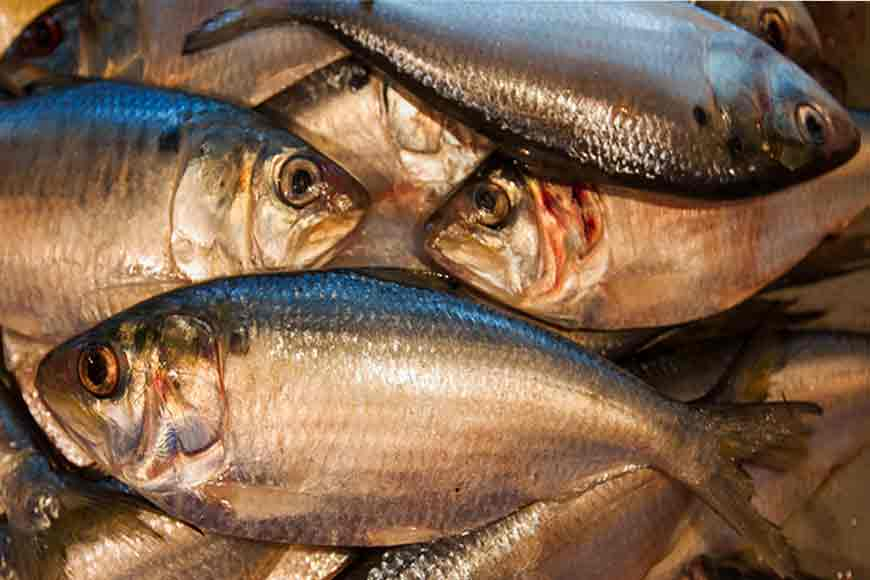Bengal government's unique effort to boost Hilsa production