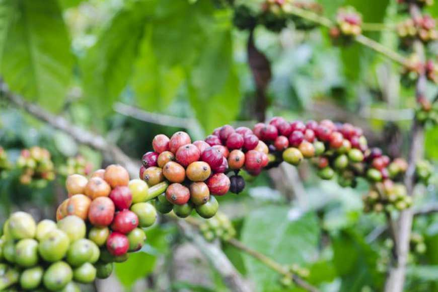 Mungpoo's Cinchona Plantation now grows coffee!