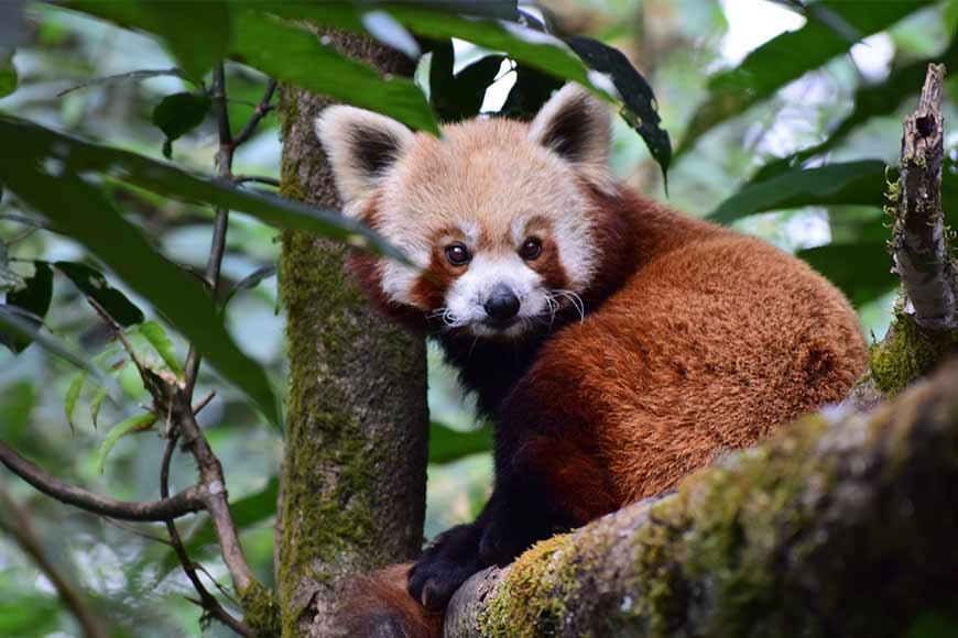 Darjeeling Zoo breeding programmes help in preserving Red Pandas