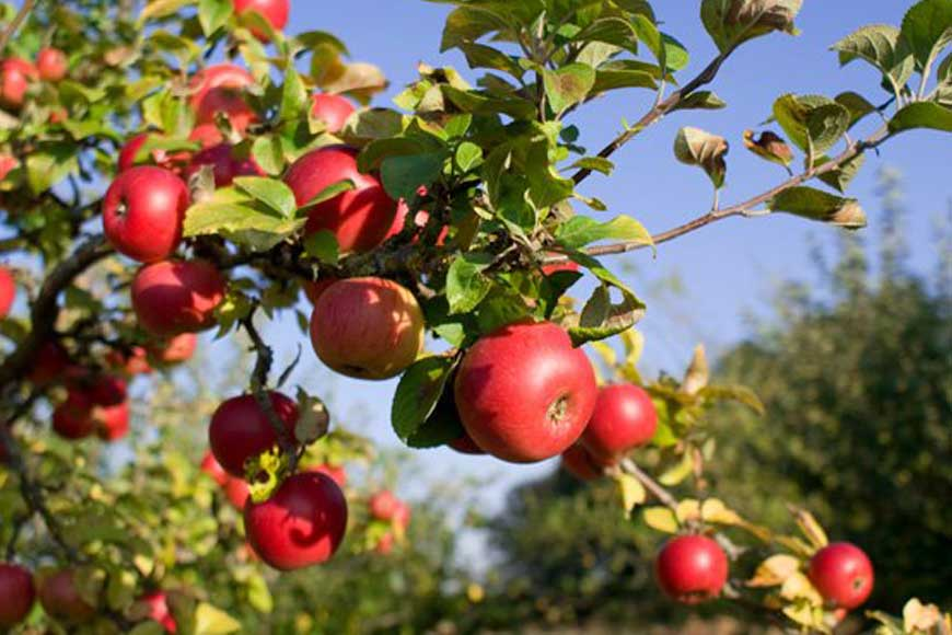 Murshidabad's Sagardighi paves the way for apple plantation in Bengal