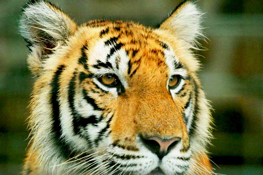 Even after Amphan, tiger population in Sundarbans is on the rise! What's the secret?
