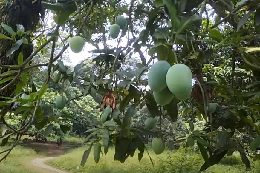 Mangolicious tales from Bengal – Kohitoor to Saranga, rare mango breeds of Murshidabad