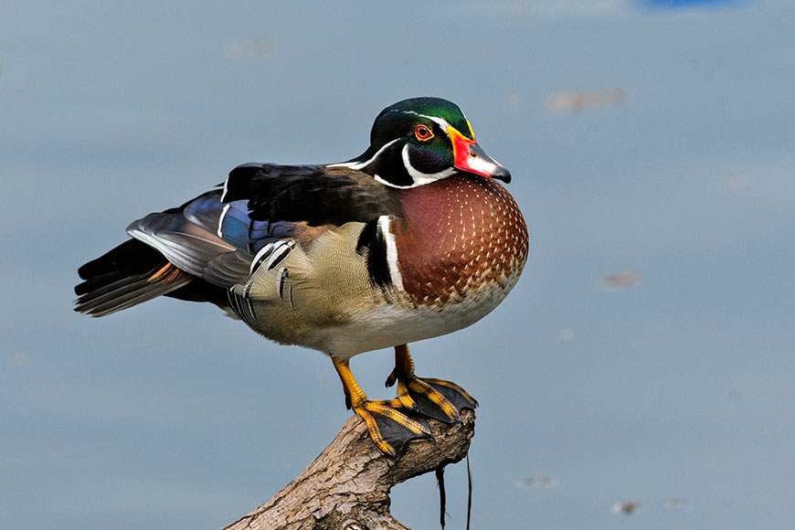 American wood duck land up in Bengal