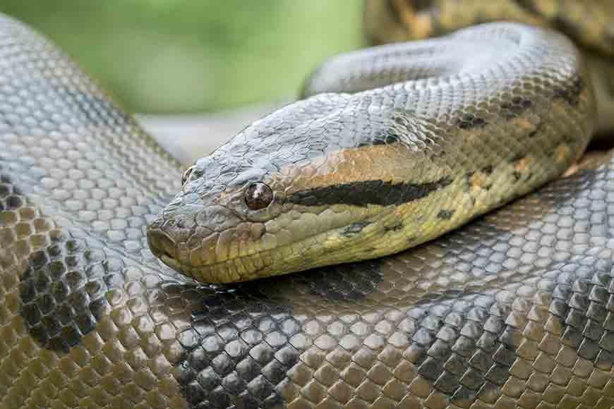 Beware!! Anacondas at Alipore Zoo!