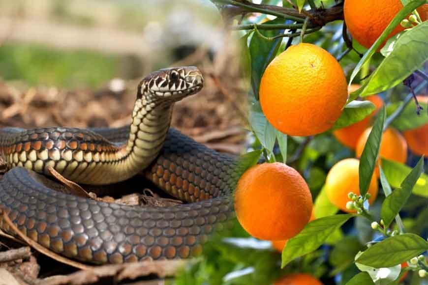 Path-breaking discovery! Asansol professor finds anti-venom in oranges