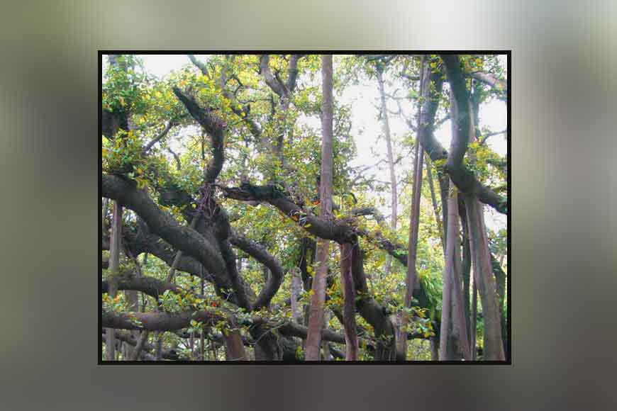 Mystery of the missing trees at Botanical Gardens shibpur