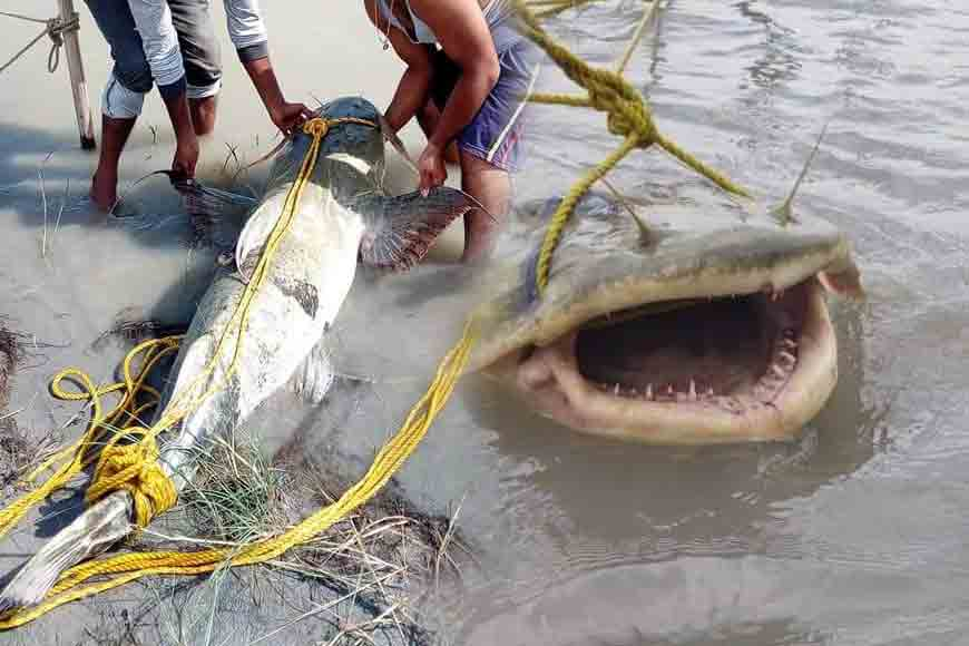 Giant catfish weighing 120kg caught by fishermen at Teesta barrage