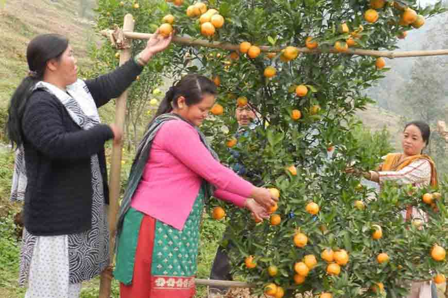 Why were Darjeeling oranges smaller in size this year?