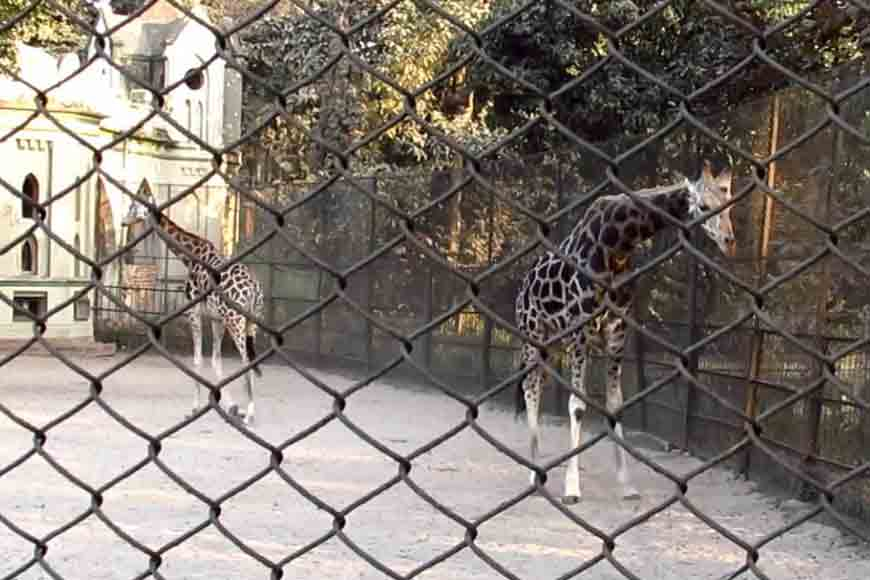 Why are animals transported from Alipore Zoo dying