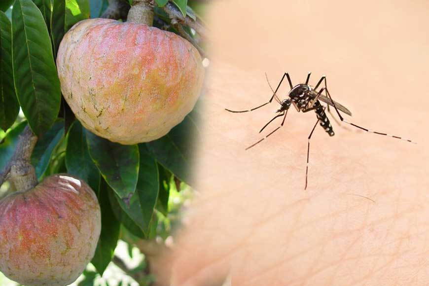 Burdwan University scientists discover chemical-free mosquito repellant