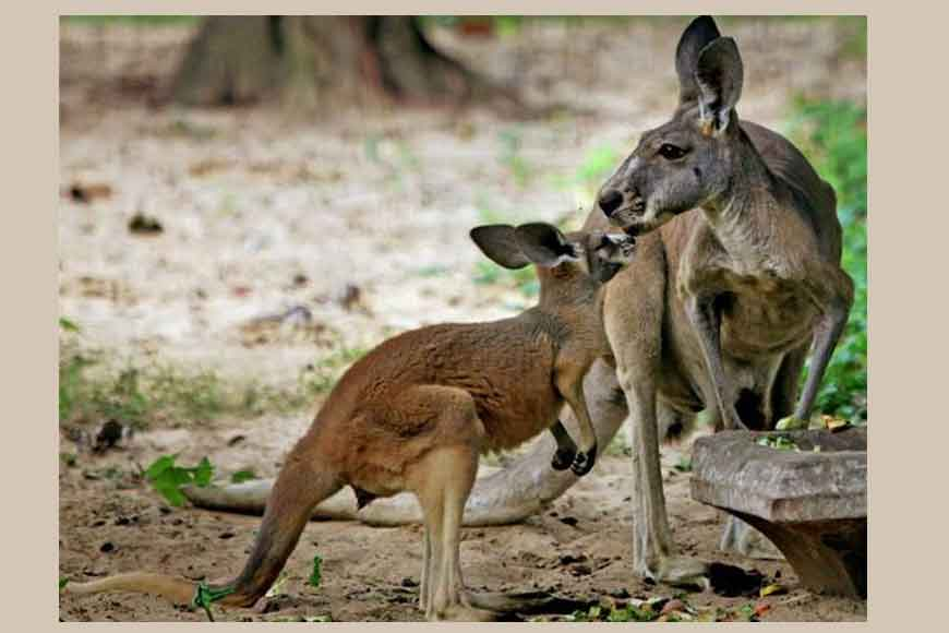 Will the new kangaroos at Alipore Zoo survive this time?