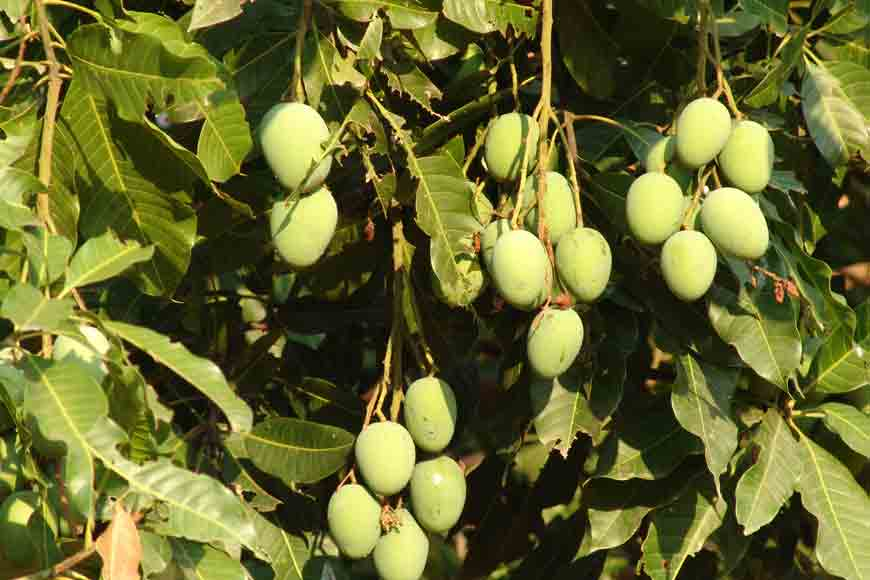 Mango Wonder! Ten mango varieties on same tree