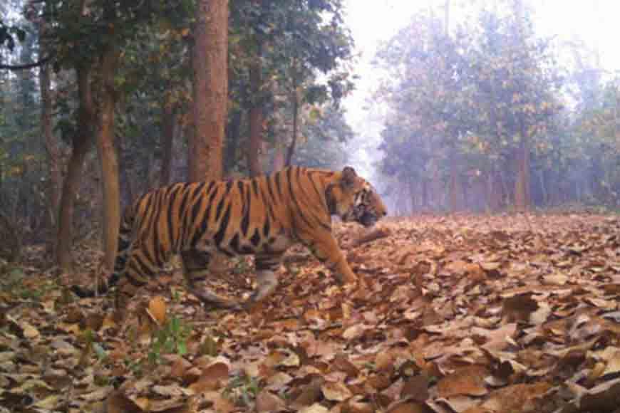 GB obituary to Lalgarh Tiger