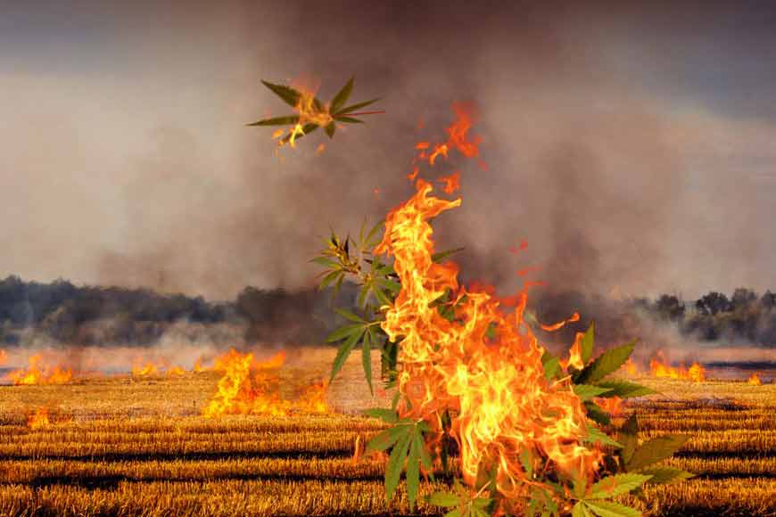 Killing marijuana fields of Bengal on Int'l Day against Drug Abuse