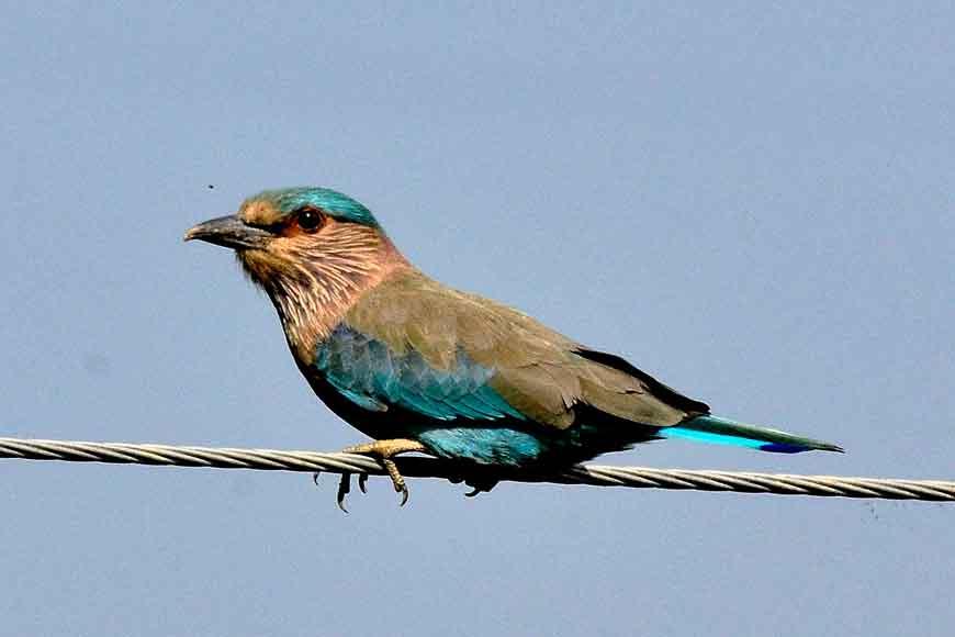 Where have all Neelkantha birds gone?