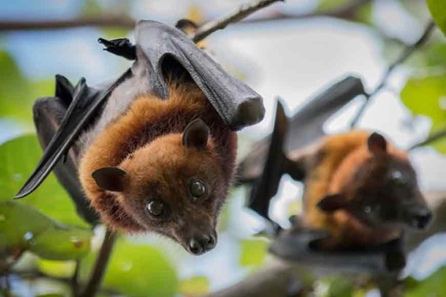 Despite Nipah virus scare, Bengal is a safe haven for bats