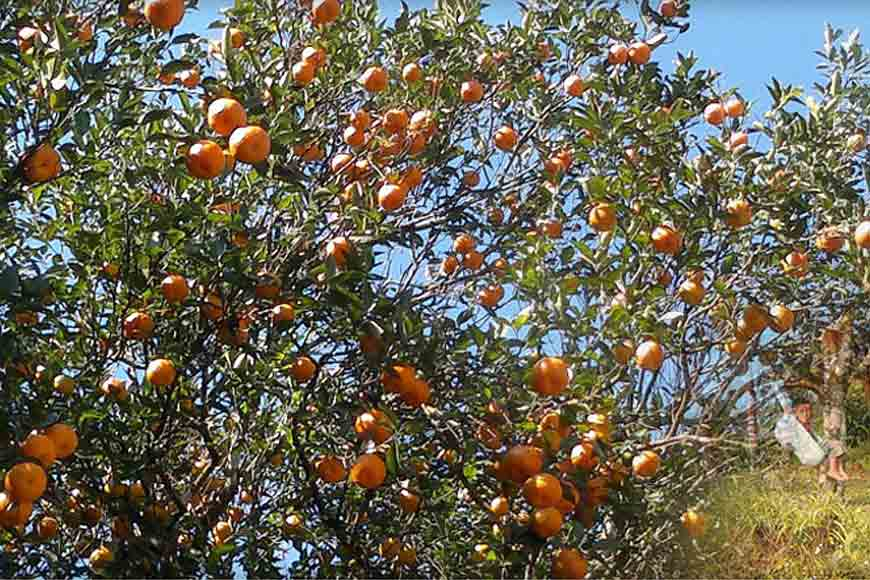 Bumper Orange this year, head to Sitong