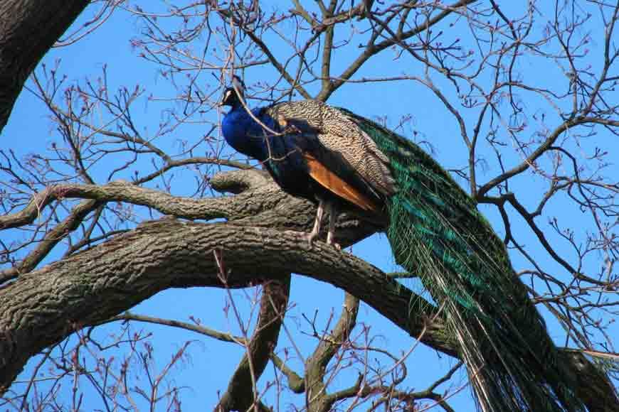 Mayur Mahal of Chinsurah – where peacocks reign