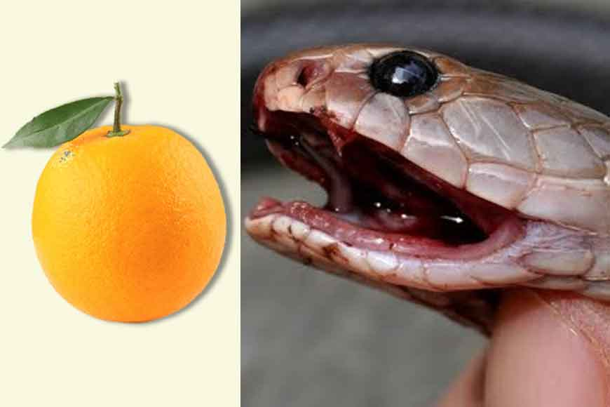 Scientist from Bengal makes snake venom antidote from oranges!