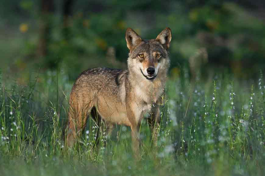 Extinct Indian Wolf sighted in Sunderbans!