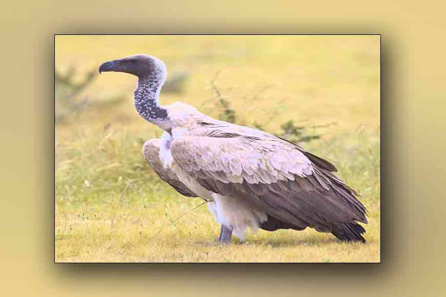 Rajabhatkhawa breeding centre brings back Bengal's vultures