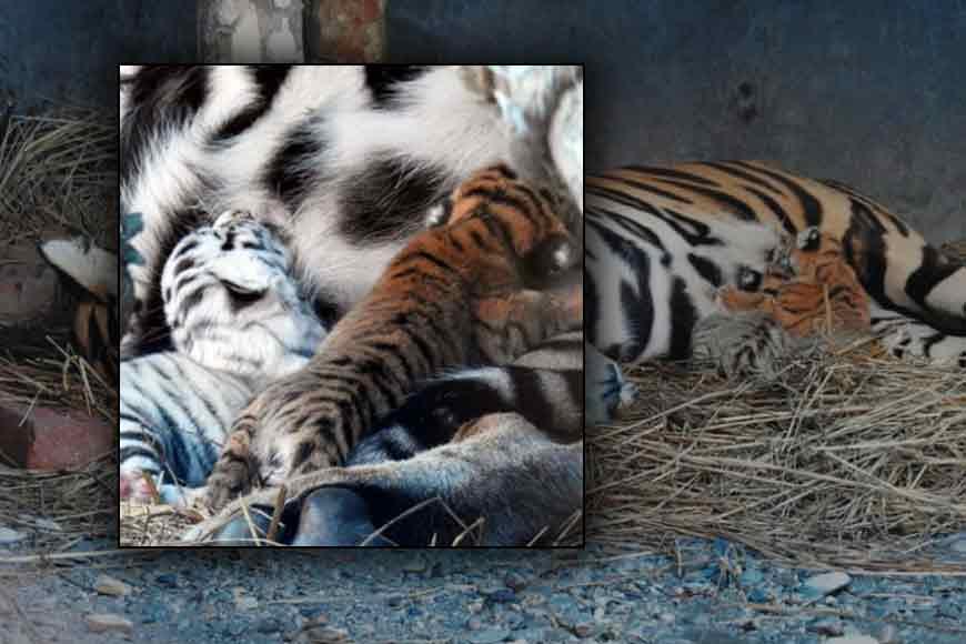 How was a White Tiger cub born in Siliguri?