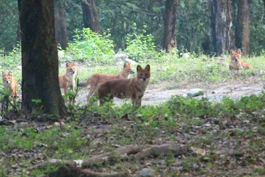 Indian Wild Dog sighted for the first time at Buxa