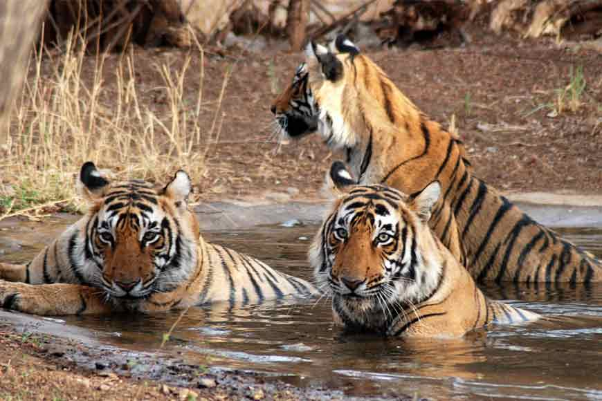 On World Tiger Day, take this quiz on Tigers of Sunderbans